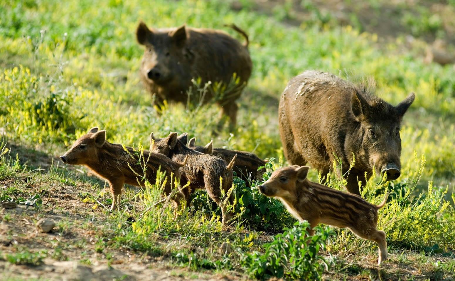 Cinghiali boschi di Caprese