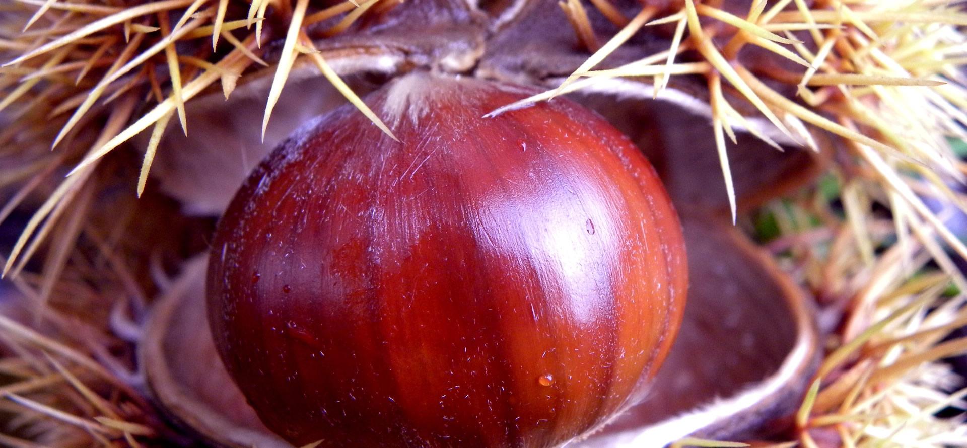 marrone-castagna-di-caprese